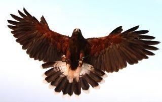 bird of prey landing